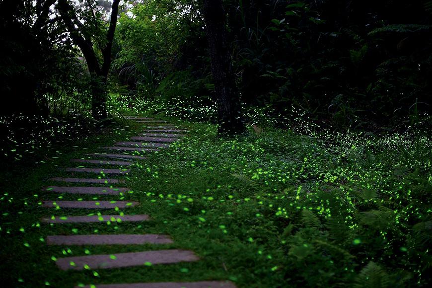 和美山中流螢飛舞的步道。除了賞螢活動,每月第一個週六,臺灣自然科技學會提供不同路線的和美山生態導覽。臉書搜尋:和美山生態筆記。圖片來源:和美山生態筆記提供