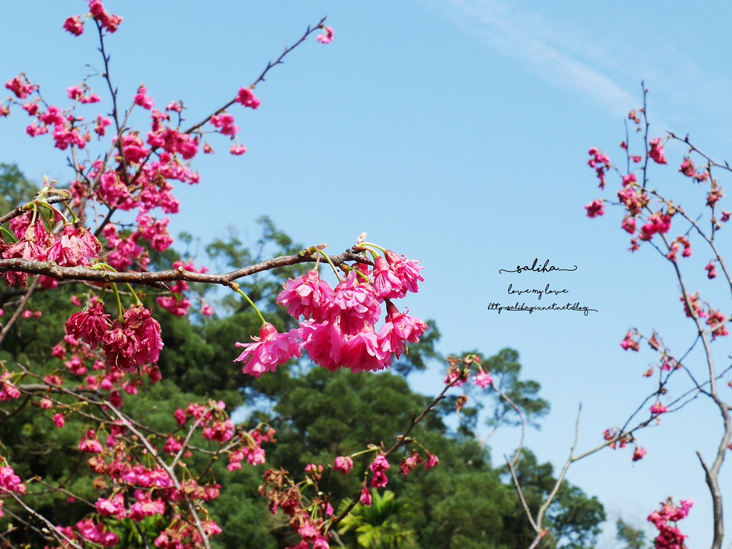 貓空樟樹步道附近櫻花賞櫻景點 (5)