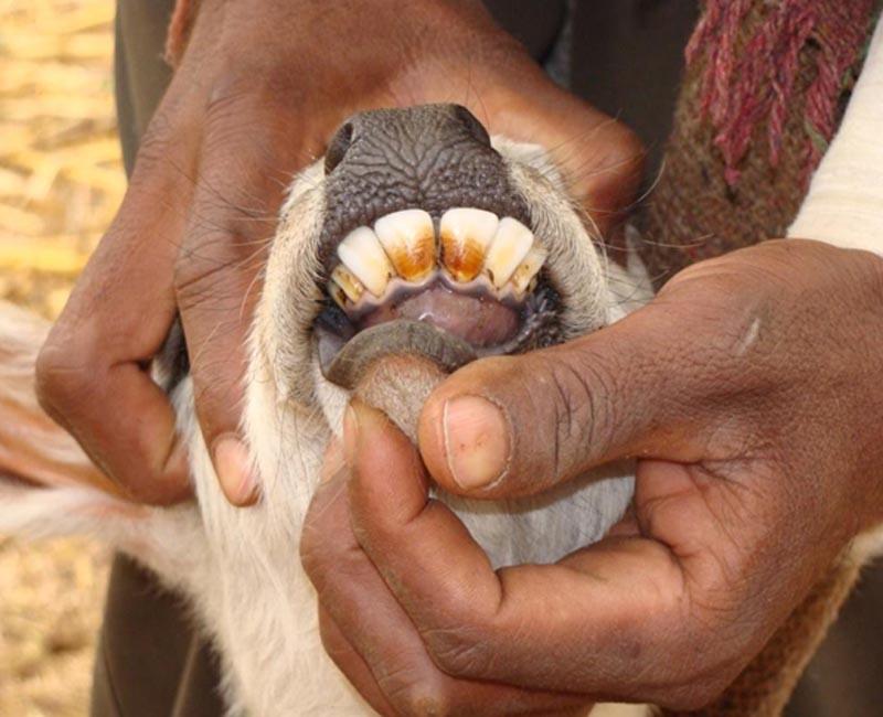 बछड़े के दाँतों पर हाइड्रो-फ्लोरोसिस का दुष्प्रभाव