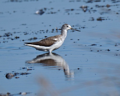 Waders - Common Greenshank (Tringa nebularia)