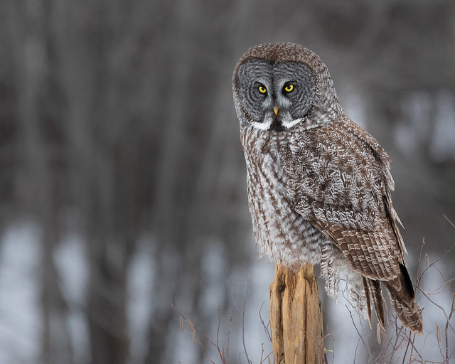 Great Grey Owl on post