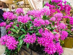 Asheville Orchids Festival_2019