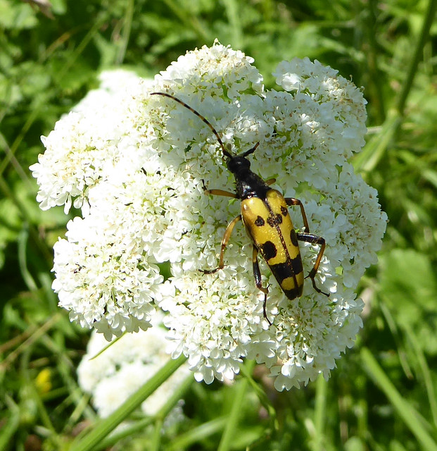 Black and yellow long-horn beetle on corky-fruited water dropwort, The beetle has lost nearly all of one antenna.