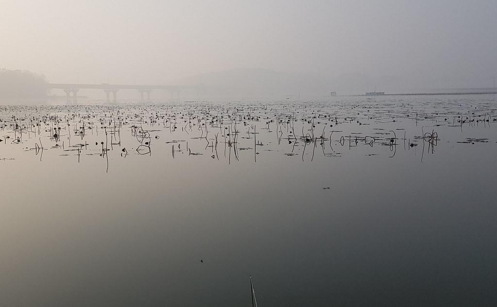 qhwjd저수지 전역이 연 으로 가득차있다