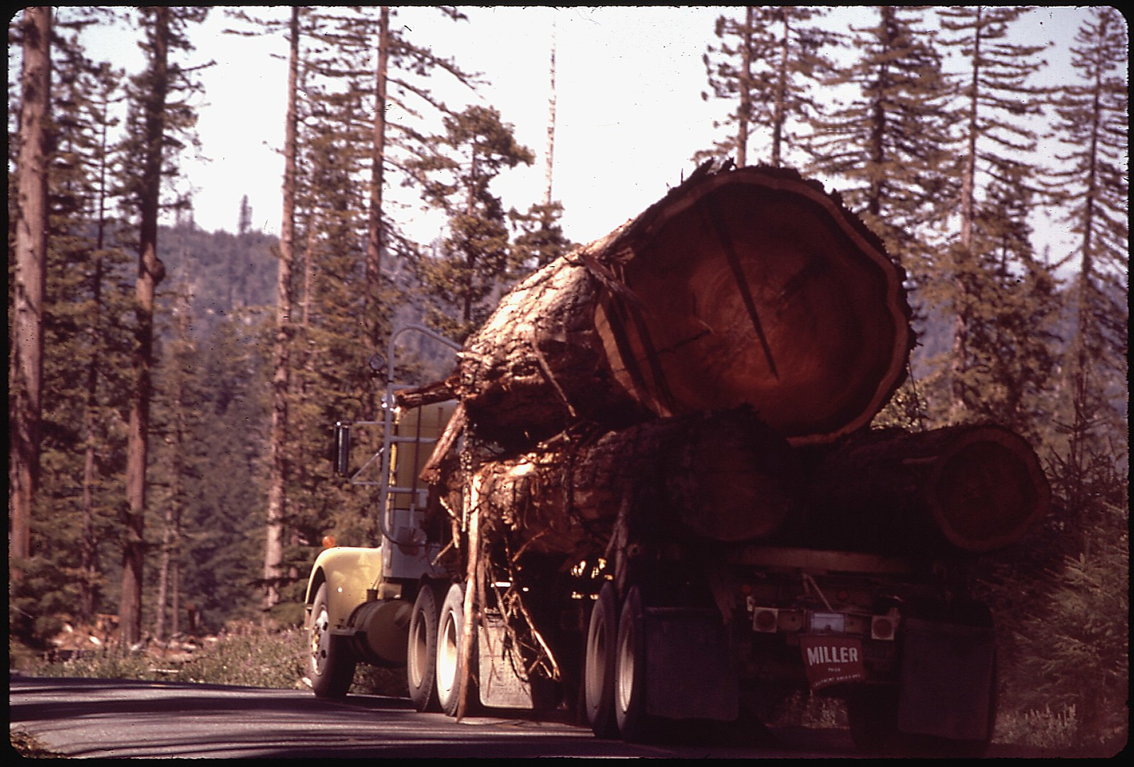 photo of logged redwood in California