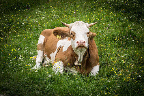 Cow Chilling
