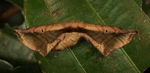 Endromid Moth (Prismosticta fenestrata, Endromidae), female