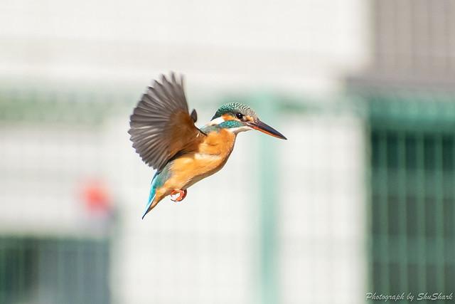 20190210-kingfisher-DSC_1120