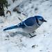 Blue Jay - Geai bleu by monteregina