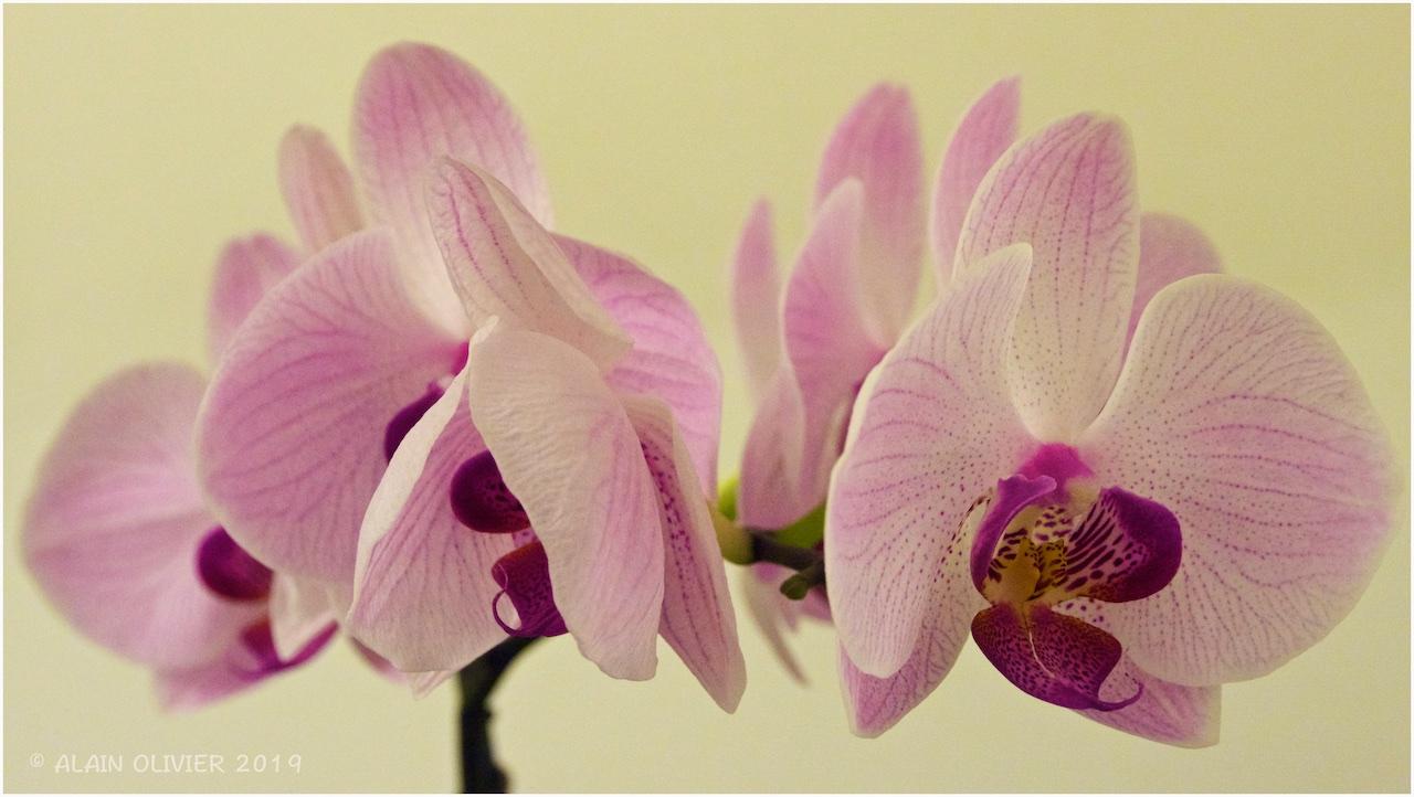 Orchidée 32235965407_f508696ba7_o