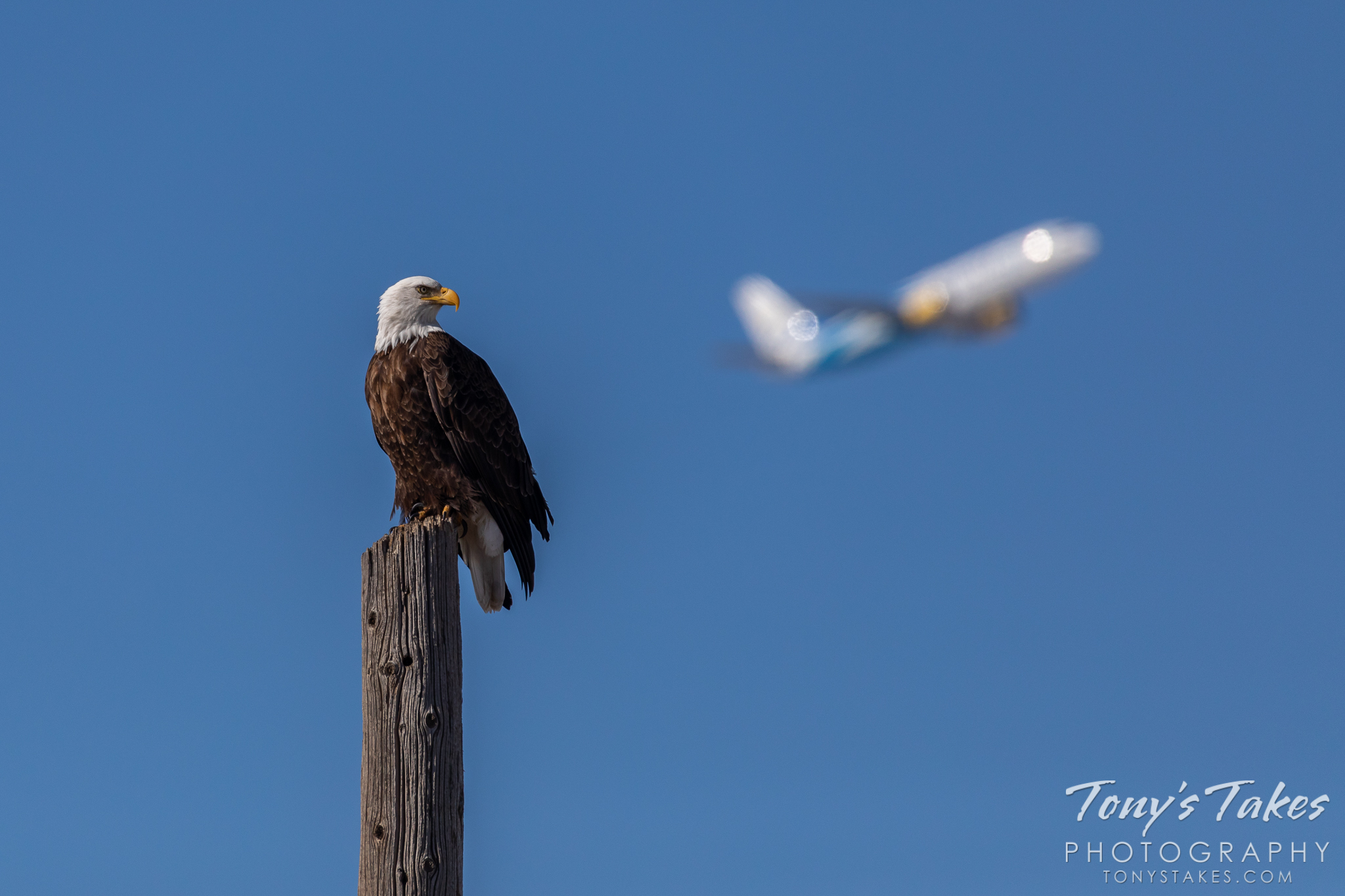 A bald eagle keeps watch near Denver International Airport while an airplane takes off in the background. (© Tony's Takes)