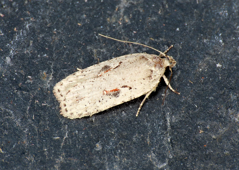 32.007 Red-letter Flat-body - Agonopterix ocellana