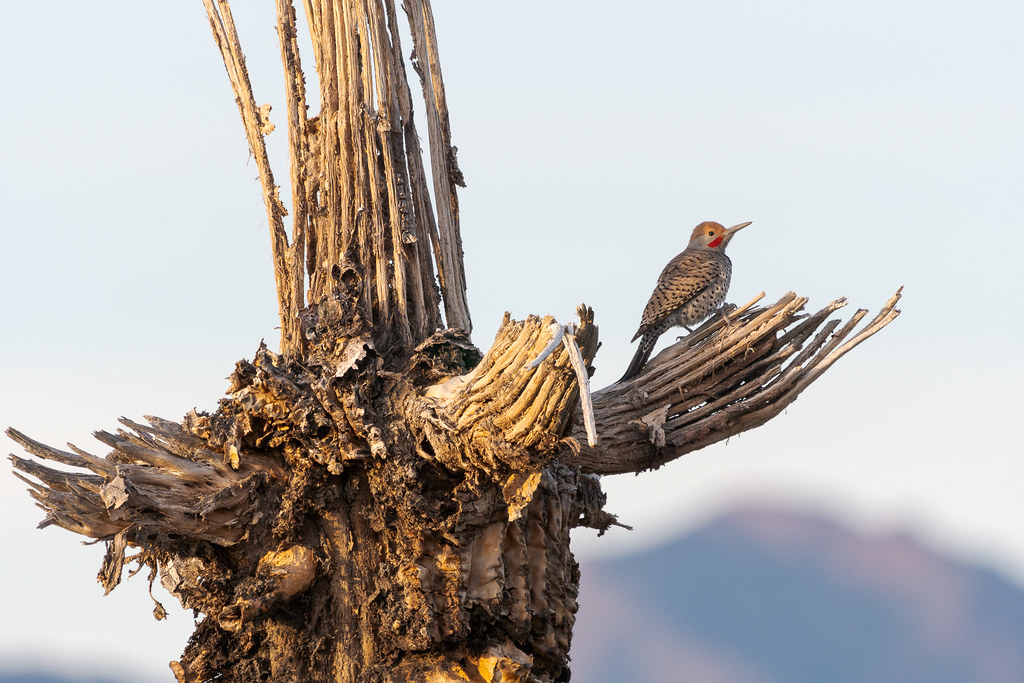 A male gilded flicker looks out over McDowell Sonoran Preserve from the broken arms of a dead saguaro near the Kovach Family Nature Trail