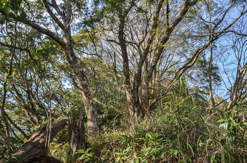 千兩山巨木 1