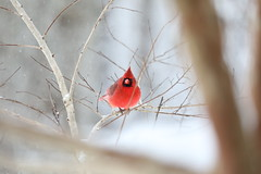 Northern Cardinal Male, in snow