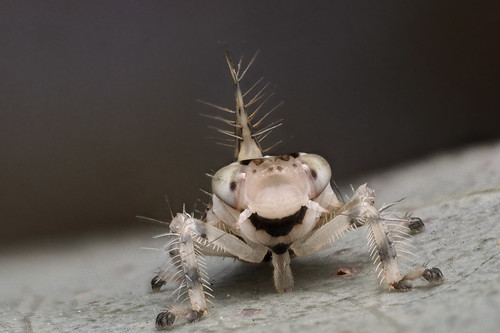 Spiny-legged Leafhopper nymph