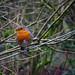 Friendly Robin, Rivington