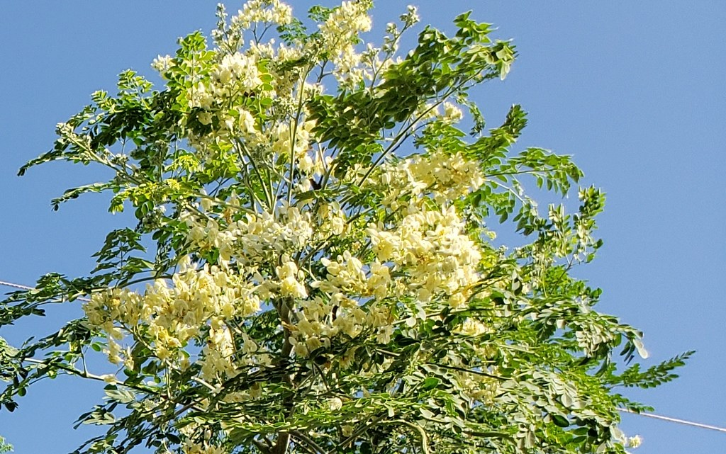 Moringa-oleifera_3220Esther-Honolulu_Cutler_20190105_085806