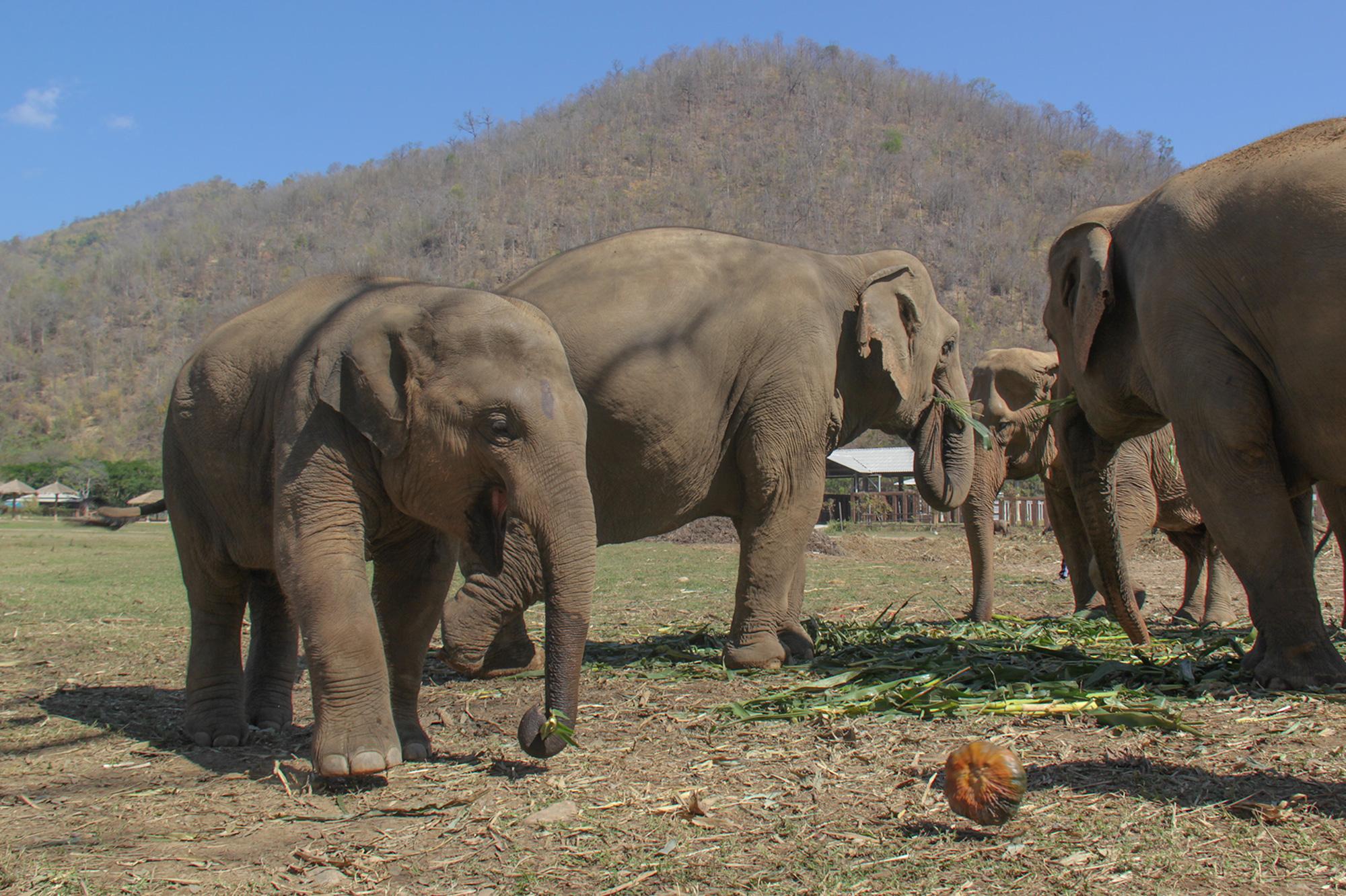 Elephant_Nature_Park_norsuvauva