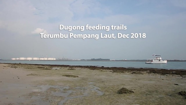Dugong feeding trail in Spoon seagrass (Halophila ovalis), Terumbu Pempang Laut Dec 2018