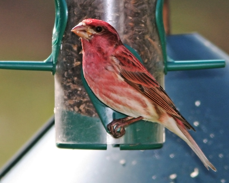 Purple Finch Male_5271