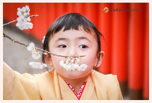 七五三 3歳の女の子 黄色の着物 赤い鳥居 桜