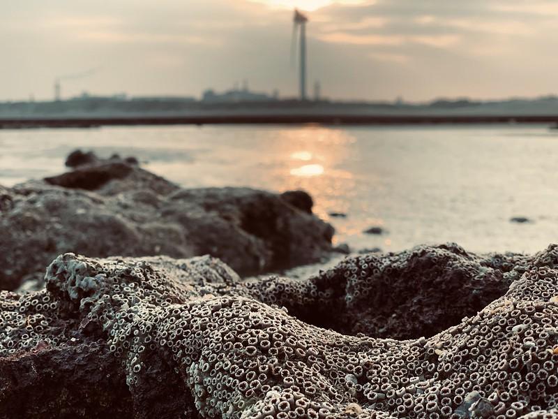 2019年1月大潭海岸最大潮差期間,所發現的珊瑚群。陳昭倫提供。