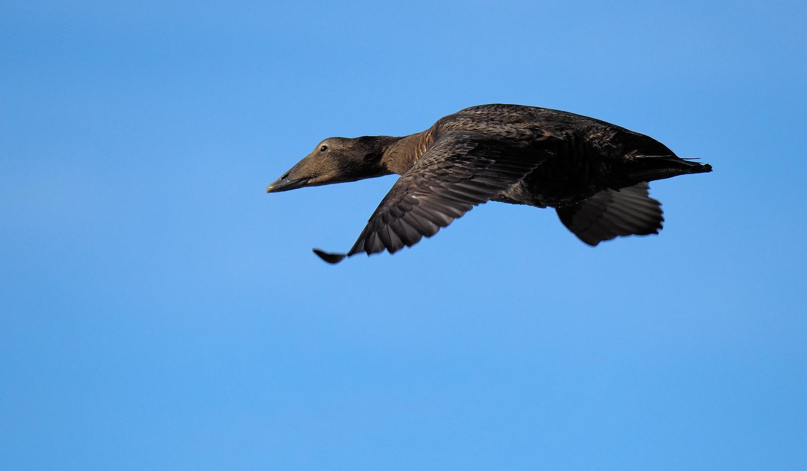 Eider Duck [female]