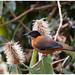 Rufous Sibia - Zwartkapsibia (Heterophasia capistrata) ... by Martha de Jong-Lantink