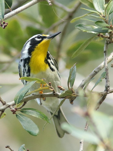 Yellow-throated Warbler 01-20190217