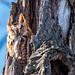 Petit-duc maculé (Forme rousse) / Eastern Screech Owl (Rufous Morph) [Megascops asio]