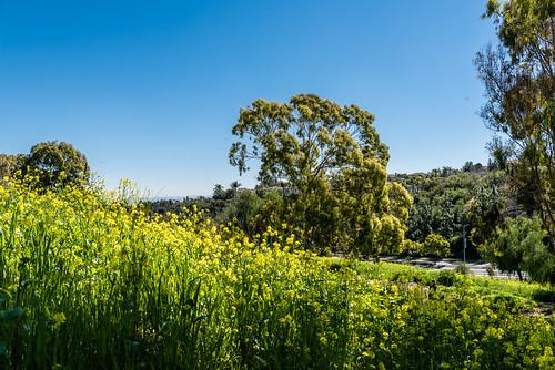 Wildflower Field in Chino Hills, CA