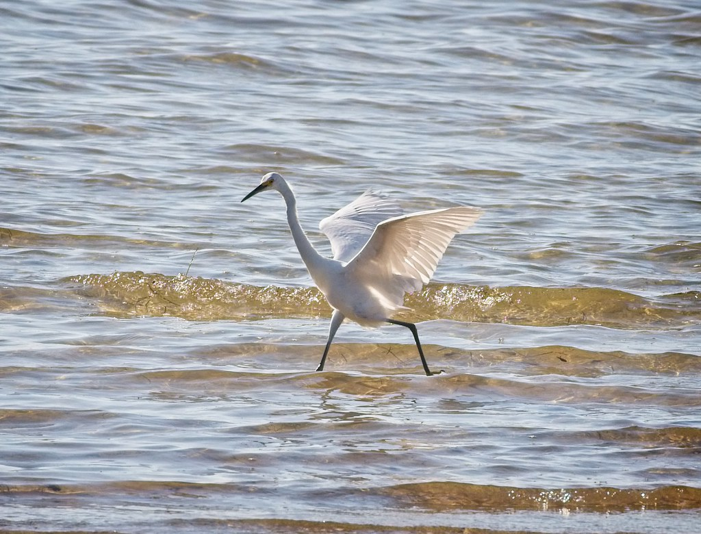 Snowy Egret prancing in the water