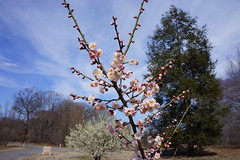 Prunus mume 'Hanakami' (Japanese apricot, plum flower)