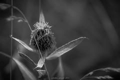 Centaurée Chevelue (N/B)