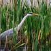 Heron F00599 Silverdale RSPB D210bob DSC_0965