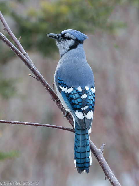 Backyard Blue Jay