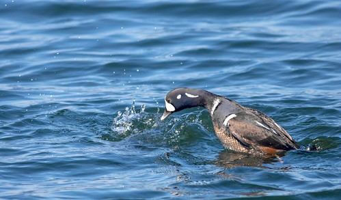 Harlequin Duck Diving