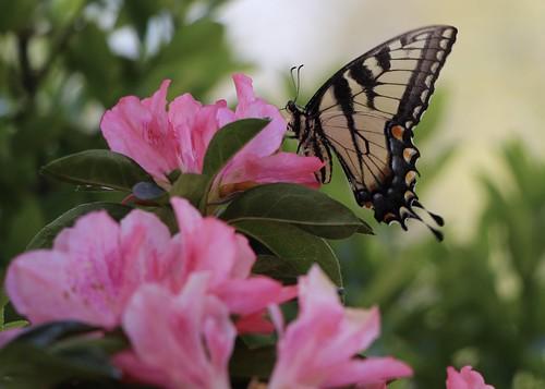 Eastern Tiger Swallowtail Female on a Pink Azalea
