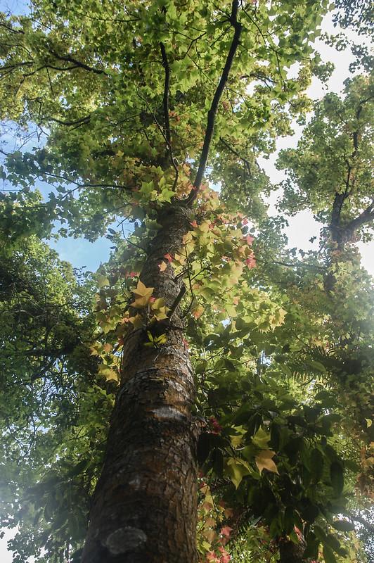 四社山巨木(楓香) 1