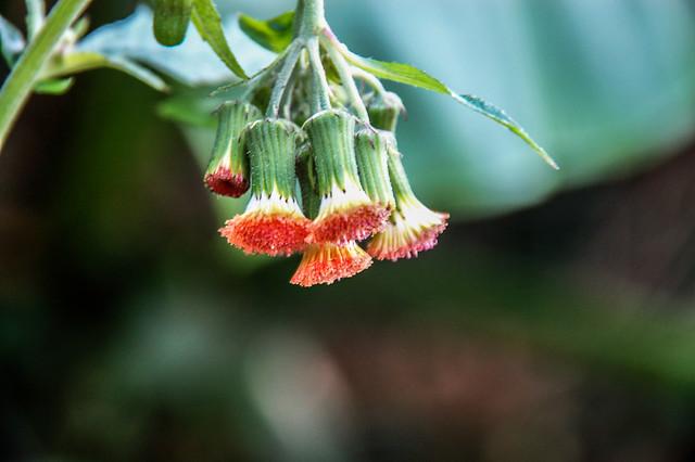 白花藿香薊 1