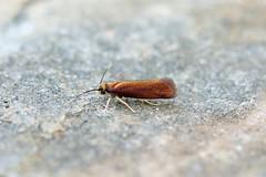 Roselerstammiidae