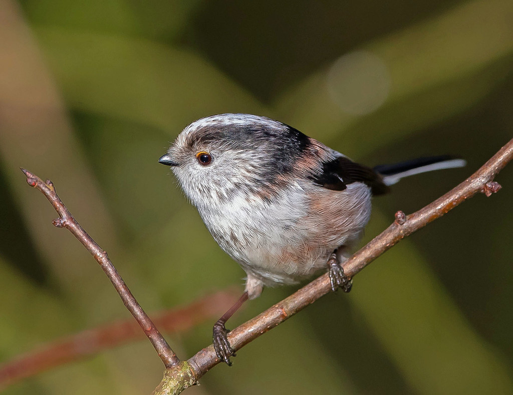 Long-tailed Tit.