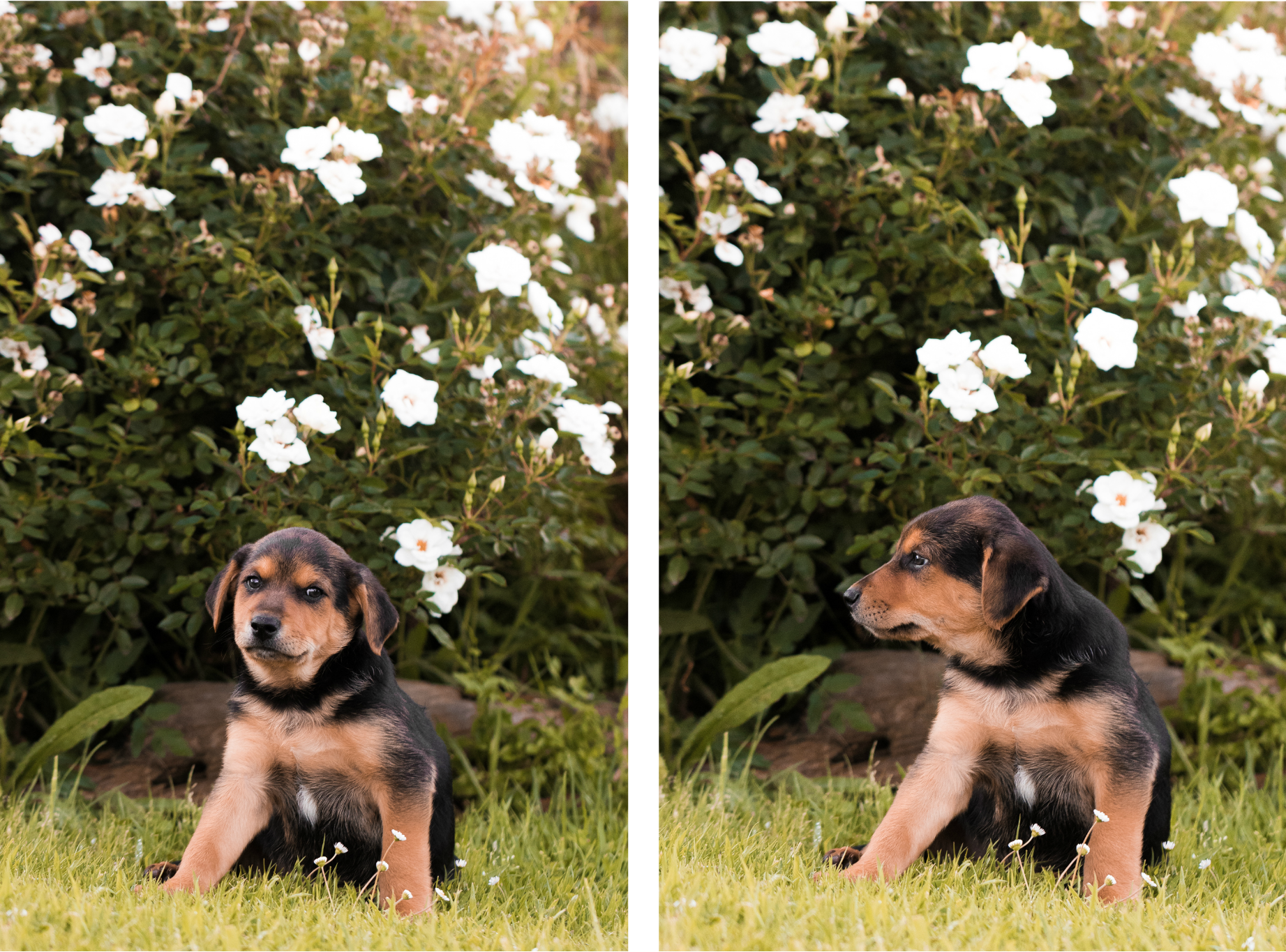 Puppies collage 2