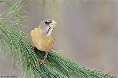 Evening Grosbeak Evergreen Grip