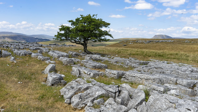 Tree on the limestone pavement at Winskill stones with Pen-Y-Ghent on the right