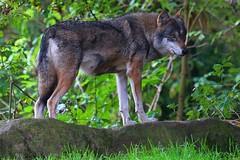 wolf_15496092002_o