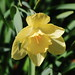 Daffodil - Marilyn's Flower Garden