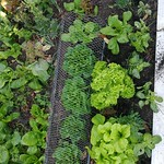 lettuce planting in Bigger vege bed by shiny
