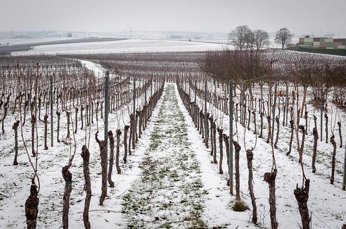 Raisin d'hiver(Scharrachbergheim,France)-101